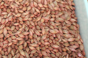 Pierwsze siewy zbóż ozimych  – na początek jęczmień ozimy