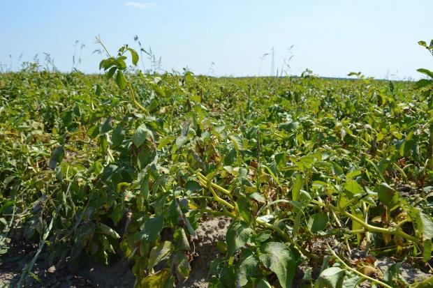Susza obniży plony ziemniaków na Ukrainie