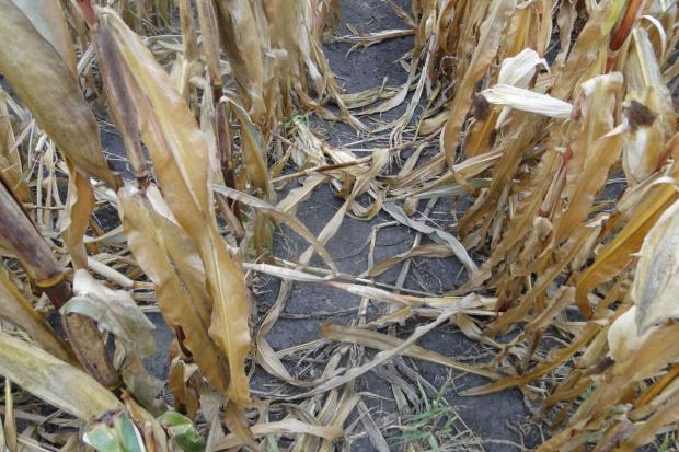 W kukurydzy groźna fuzarioza i omacnica – na Podkarpaciu rekordowe szkody