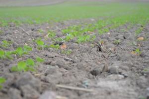 Progi szkodliwości jesiennych szkodników rzepaku ozimego