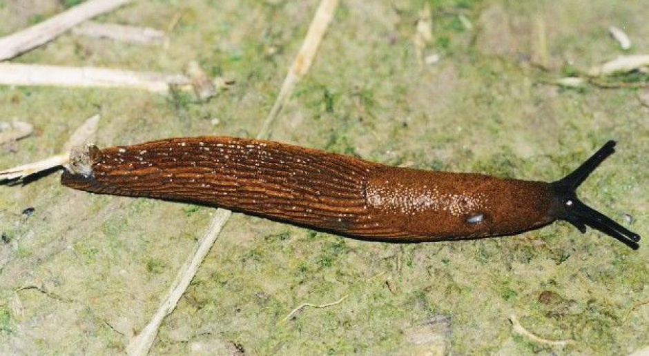 Jak walczyć ze ślimakami?