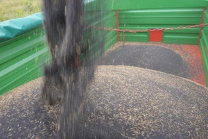 Kanada: Spadek produkcji pszenicy i rzepaku