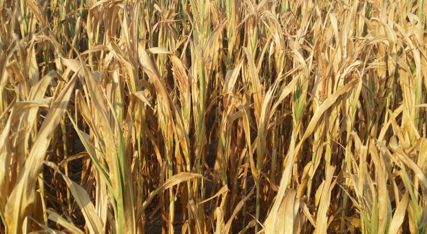 MRiRW: Nie będzie przedłużenia terminu składania wniosków o pomoc suszową