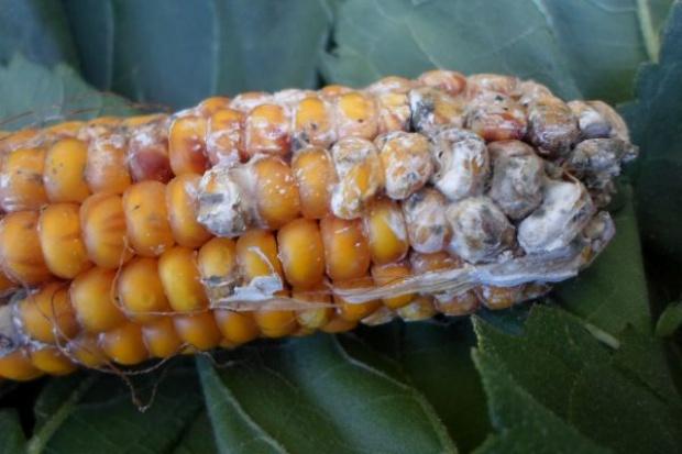 Groźne mikotoksyny w kiszonkach z kukurydzy