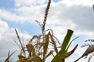 Mało ziarna kukurydzy w skupach – cena ok. 450 zł/t