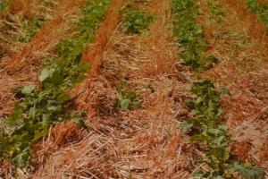 Plantacja rzepaku ozimego 2015 r. uprawiana w systemie pasowym (obok pola widocznego na pierwszym zdjęciu) zlustrowana tego samego dnia, po upływie miesiąca od siewu i opadach deszczu trzy tygodnie od siewu, fot. D. Jaskulski