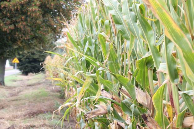 Słowacja: Niskie zbiory kukurydzy na ziarno