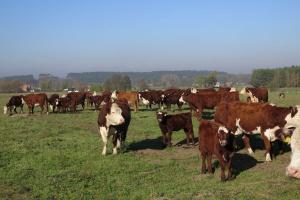 Rośnie eksport polskiej wołowiny