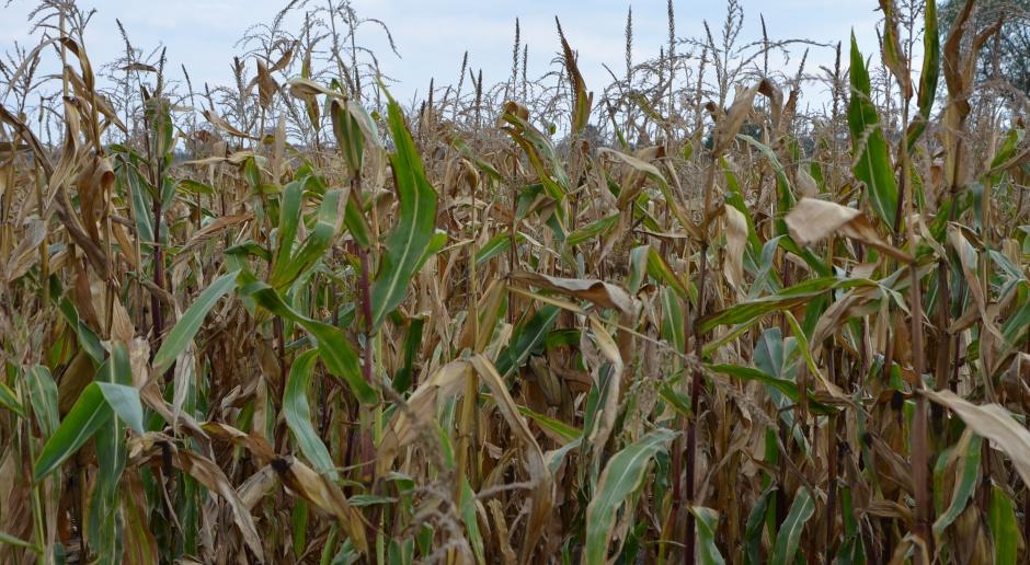 Podniesiono nieznacznie szacunki zbiorów kukurydzy