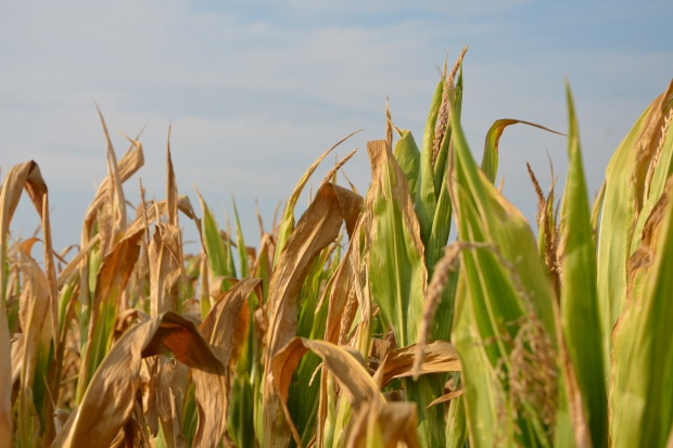 Ceny stabilne, kukurydza mokra po 480 zł/t