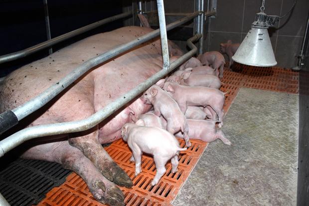 Główne elementy organizacji stada podstawowego świń