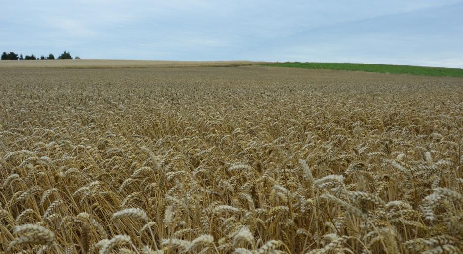 Światowe zapasy zbóż – dla pszenicy sezon zamknięcia na plus