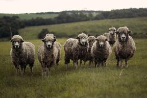 Konsultacje publiczne ws. programu wykrywania choroby niebieskiego języka u bydła i owiec