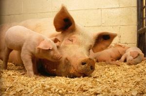 Do 17 XI można starać się o dofinansowanie do produkcji prosiąt i bydła