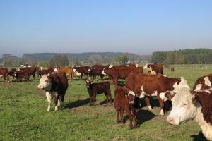 Producenci bydła: spadek ceny bydła o ok. 15 proc.