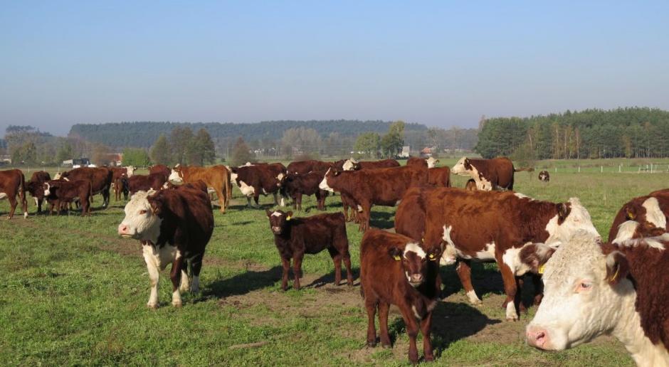 Producenci bydła: Porozumienie z Mercosur uderzy w europejskich hodowców i konsumentów