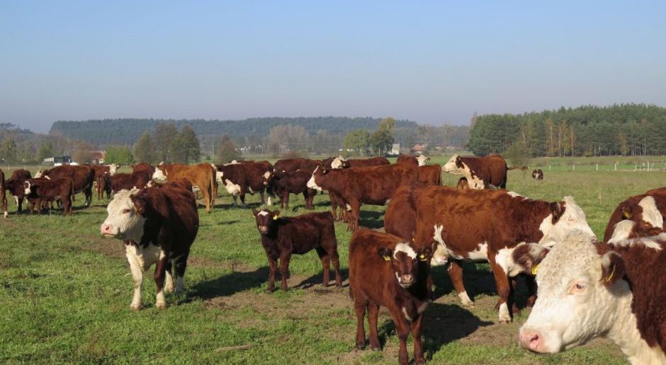 Ceny bydła pozostają na dobrym kursie