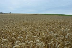 Rekordowe zbiory pszenicy w Unii
