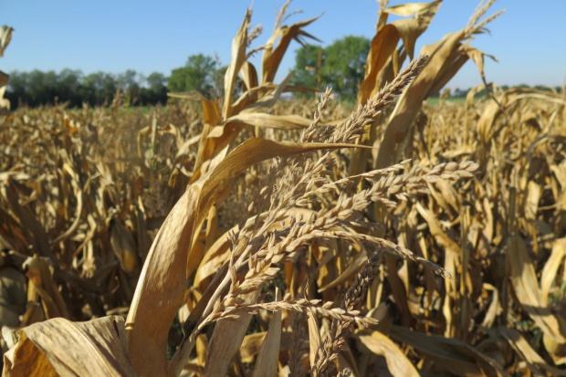 Pozostało do zbioru jeszcze 25 proc. kukurydzy ziarnowej