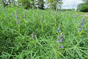 KZPRiRB: Brak opłacalności roślin białkowych z powodu zmniejszenia dopłat