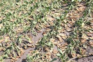 MRiRW o szacowaniu szkód po suszy