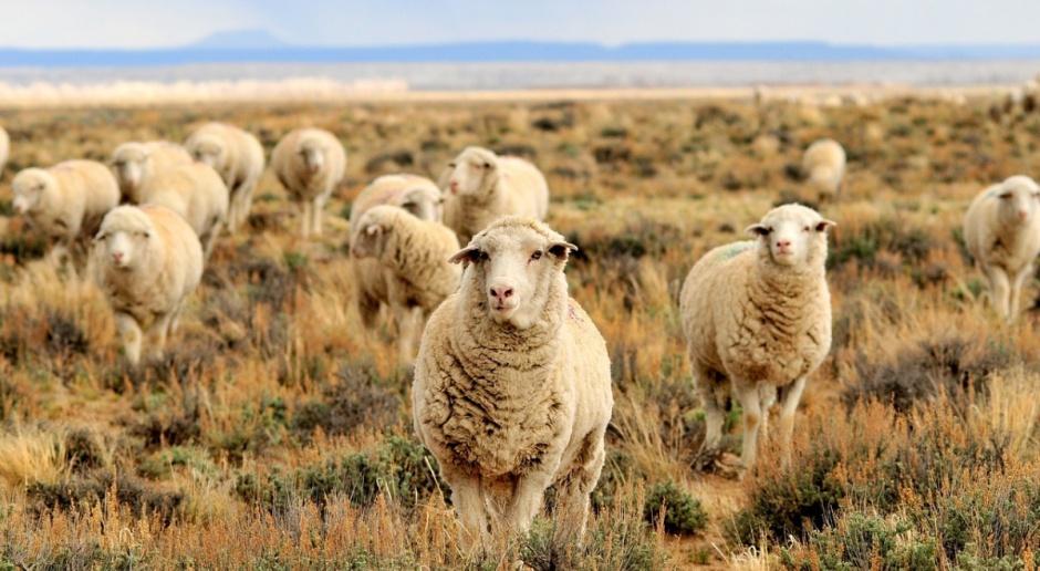 UE: Problemy z eksportem owiec i mięsa owczego