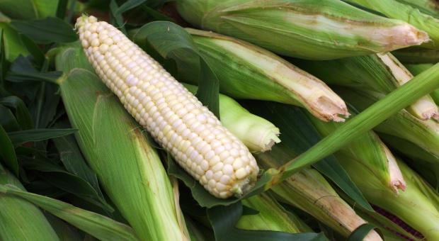 PE odrzucił projekt ułatwiający krajom zakazywanie sprzedaży GMO
