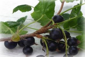 ARiMR wypłaca wsparcie z tytułu strat z powodu suszy oraz producentom czarnej porzeczki