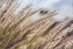 Badają uprawę trawy na biomasę
