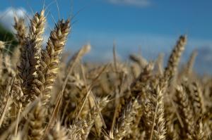 Poprawa sytuacji pszenicy i oleistych