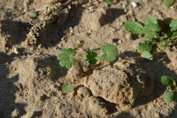 Jesienne zwalczanie chwastów w pszenicy