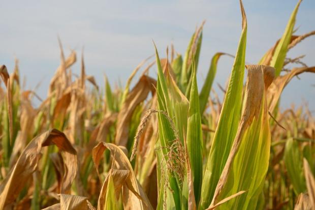 Powstała największa na świecie biorafineria etanolu celulozowego z kukurydzy