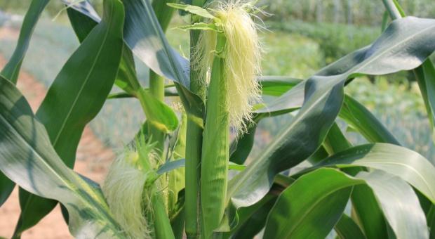 Nowe podejście Europy do GMO