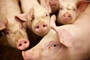 Duże obniżki cen skupu świń