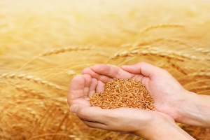 Mniejszy eksport zbóż z Ukrainy w sezonie 2015/16