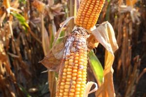 Sposób na mikotoksyny w kukurydzy