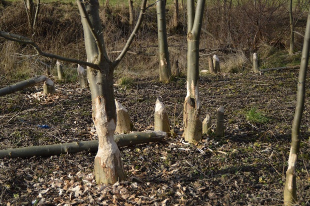Ponad 3 mln zł za szkody wyrządzone przez bobry w województwie warmińsko-mazurskim