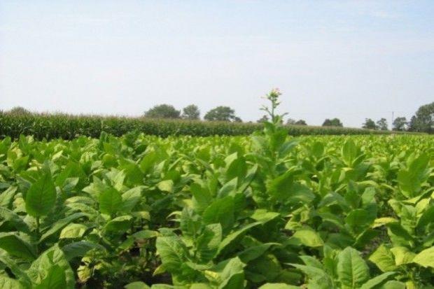 Nowy regulator wzrostu w tytoniu