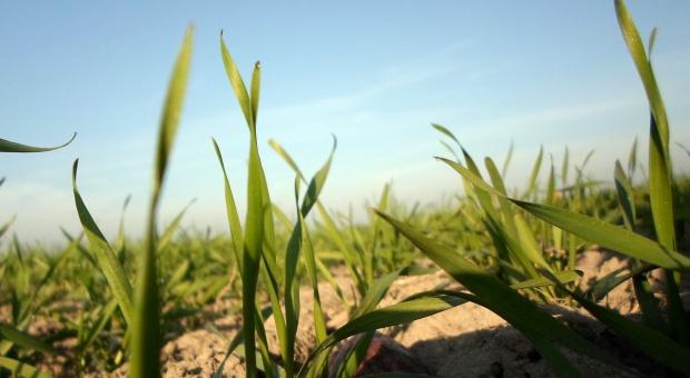 Jesienne zabiegi fungicydowe w zbożach