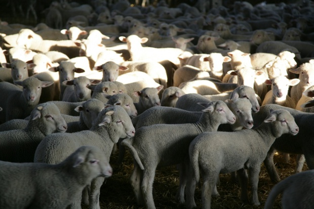 Rośnie pogłowie polskich owiec