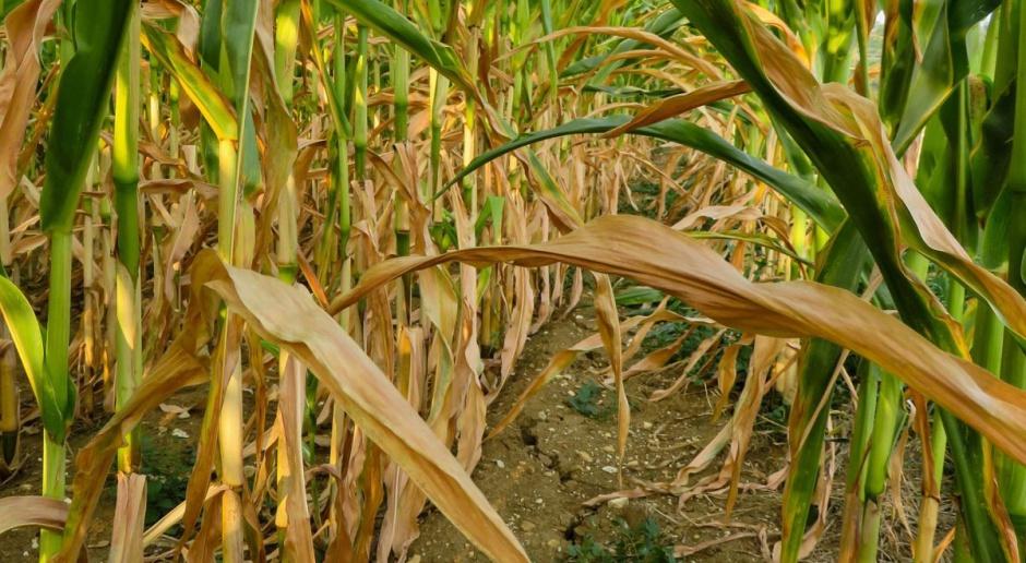 ARiMR wypłaca pieniądze poszkodowanym przez suszę