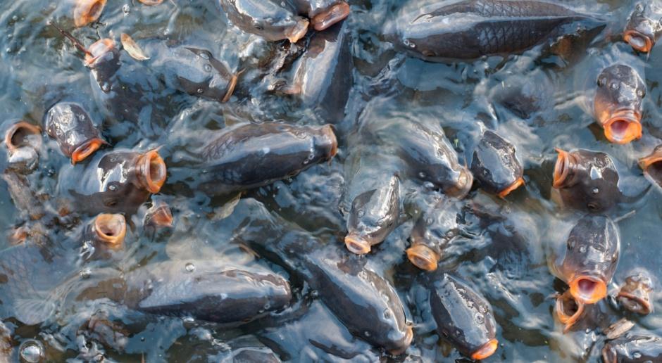 Susza dała się też we znaki producentom ryb