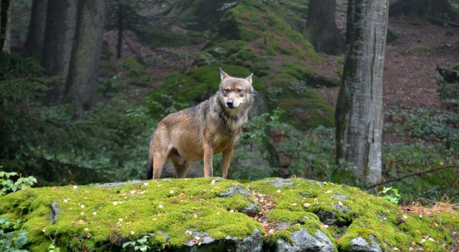 Zakaz polowań na wilki wzdłuż polsko-słowackiej granicy ‒ obawy hodowców