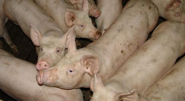 Trudna sytuacja na rynku trzody, resort rolnictwa obiecuje pomoc
