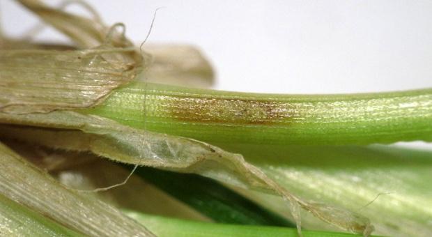 Choroby podstawy źdźbła we wczesnych fazach rozwojowych zbóż już są