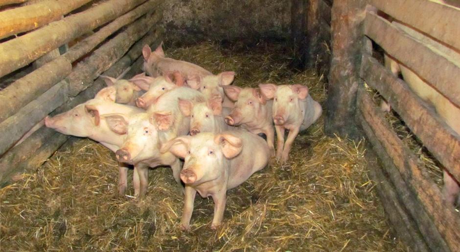Świnie w stylu eko