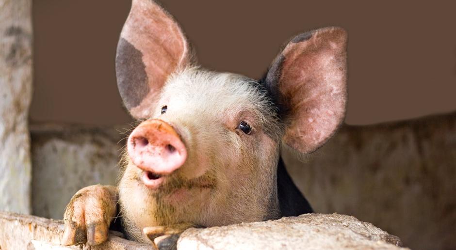 Resort rolnictwa prezentuje nowy program odbudowy pogłowia świń