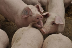 Fundusz promocji - często wykorzystywany do promocji importowanej wieprzowiny