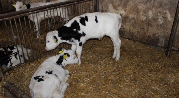Zimowe choroby bydła
