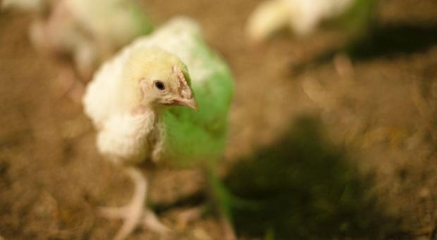 Zlikwidowano ognisko ptasiej grypy koło Wolsztyna